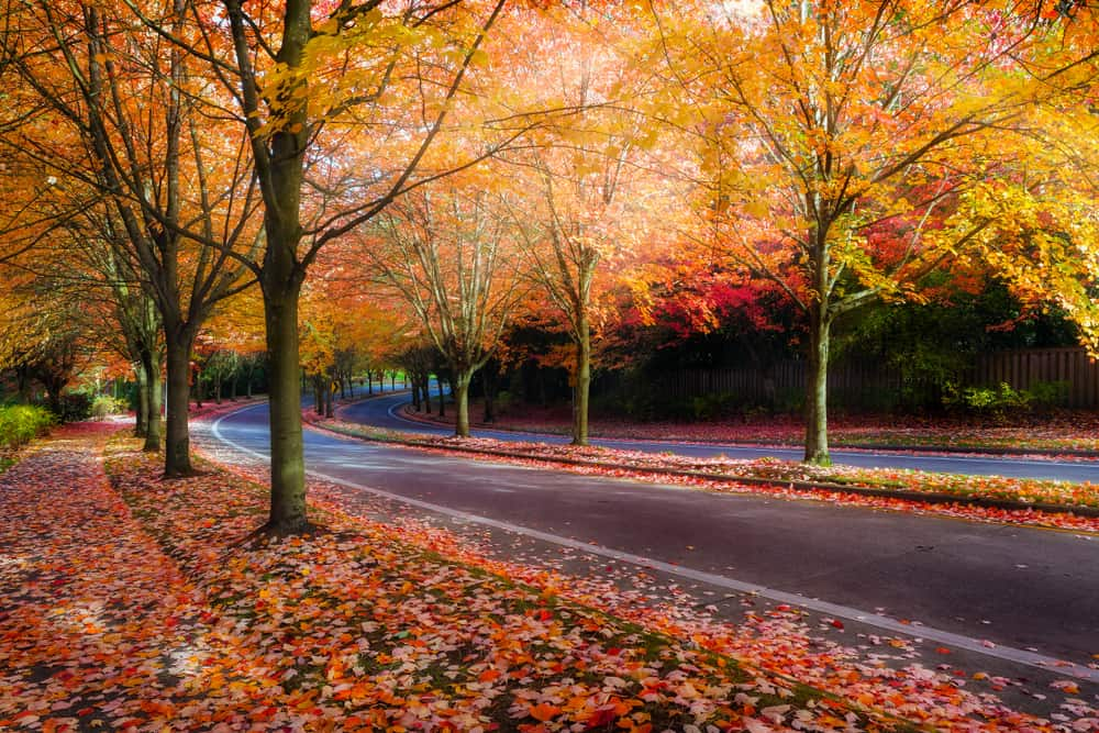 Autumn leaves along road in Beaverton, OR